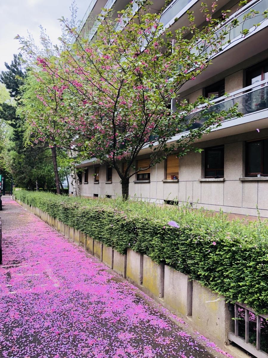 Pétales de cerisier du Japon